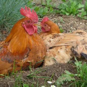 Quelques conseils pour démarrer un élevage de poules