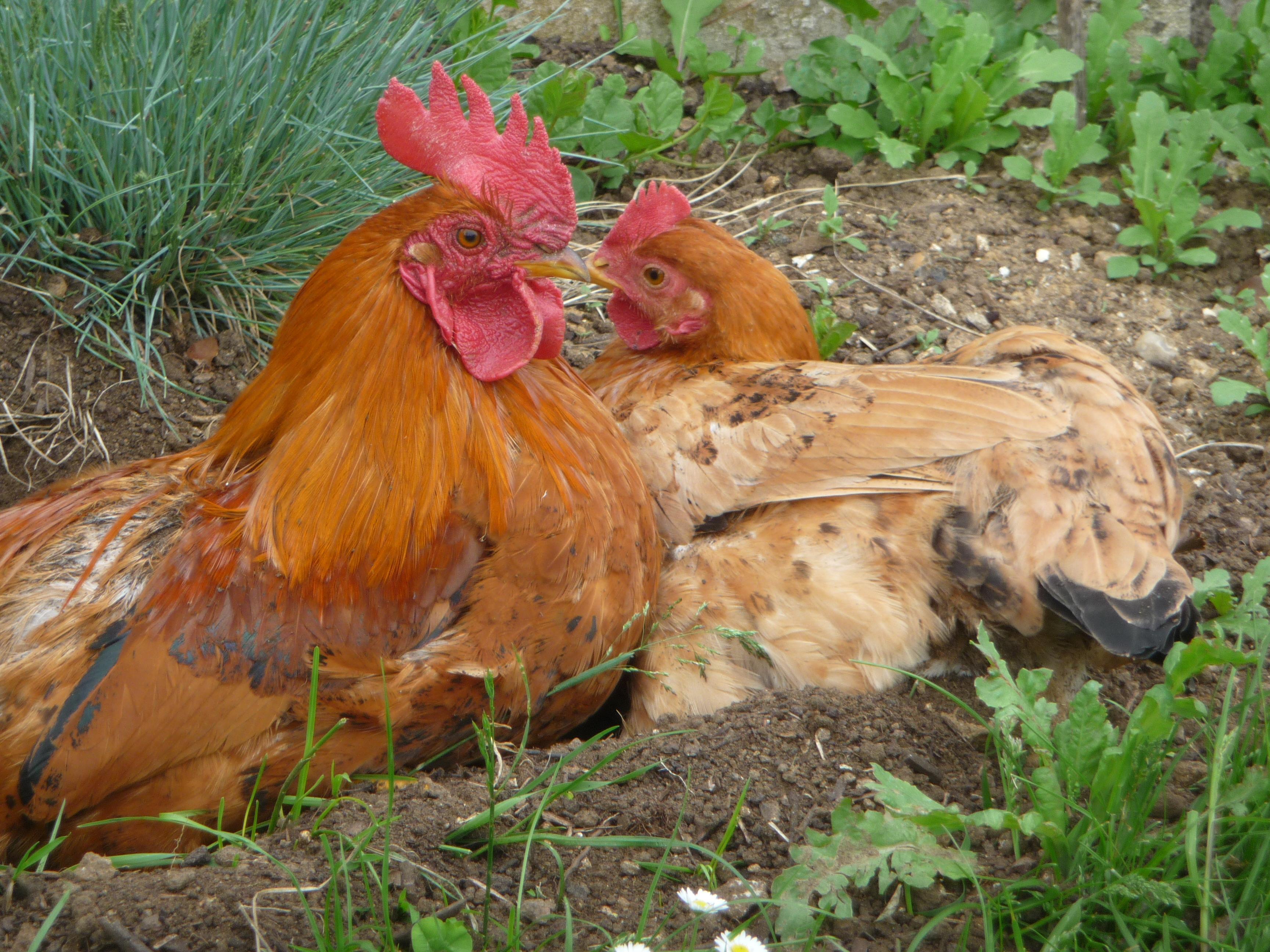 Quelques conseils pour d marrer un levage de poules beauvais en transition - Image d une poule ...